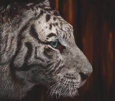 White tiger by Vincik