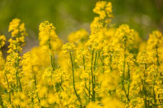 Mustard Plant by TSWright