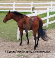 Quarter Horse 23 by EquineStockImagery