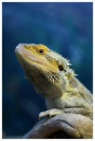 Bearded Dragon by rob389
