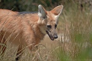 Maned Wolf 0387 by robbobert