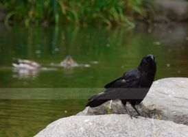 crow by the pond by arcticphoenixstudios