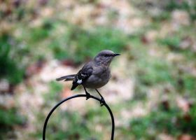 Northern Mockingbird III by jennalynnrichards