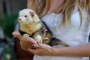Daddy ferret by Crazy-Mouse