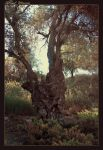 Old tree by ShlomitMessica