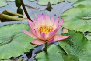 Pink Water Lilly by WickedOwl514