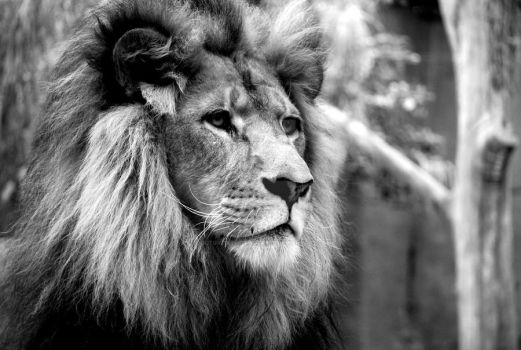 Lion - B+W by doctored-photographe