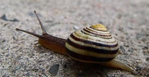 Snail by ralasterphecy