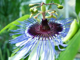 Passion Flower by froggynaan