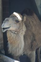 Camel by WoodenOx