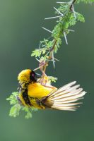Village Weaver by 00Tiger00