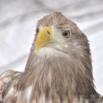 White-tailed Eagle 2010 by cinnabarr