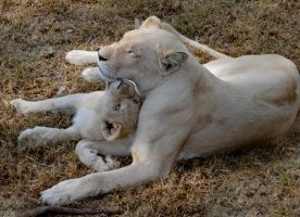 Lioness and cub by FireFlyExposed