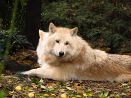 Arctic Wolf 13 by xCrystals