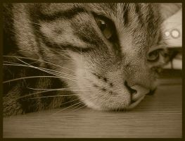 Sepia Cat by cat-lovers