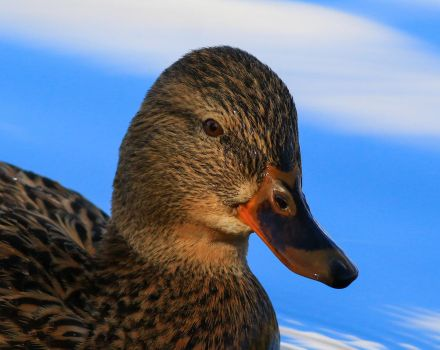 Female Mallard by NurturingNaturesGift