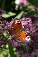 Peacock Butterfly by Rhiallom