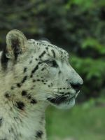 The snow leopard 2 by Scoiattolina