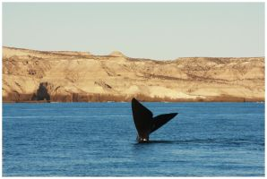 Ballena Franca Austral 2 by lil0