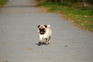 Autumn pug by HollyHuntington