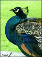 Peacock by Estruda