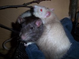fuzzy rats by RatteMacchiato