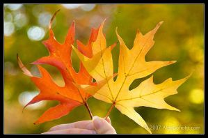 Fall Leaves by AlexCphoto
