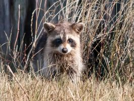 Raccoon by Occamsrasr