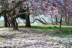 Fairmount Park  Cherry Blossoms 33 by FairieGoodMother