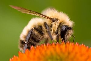 Bumble Bee Macro by DarkCaress9