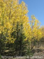 Fall Aspens by ReflectiveCreations
