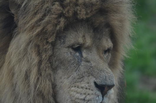 lion close up by franki-bee