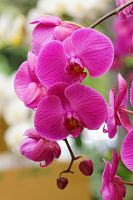 Orchid flowers 34 by a6-k