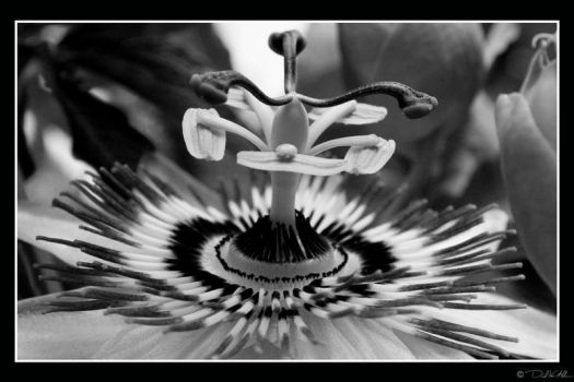 Passion Flower BW by InWineThereIsTruth