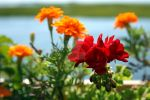 Geranium and Marigolds by peterkopher