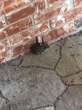 A baby bunny on our front porch by pugwash1