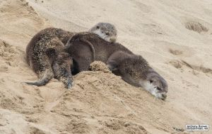 Sand otters by jaffa-tamarin