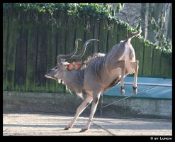Kicking Kudu by Lunchi