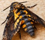 Death's-Head Hawkmoth by rajaced