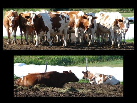 Brown White Dairy Cows by FantasyStock