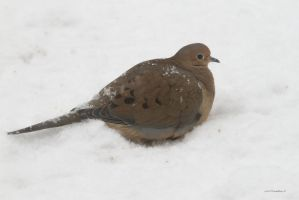Snowy Morning Dove by natureguy