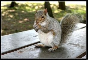 Gray Squirrel by Shelly-J