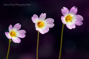 The Three Tenors by RHCheng