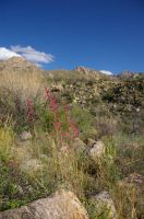 Mountains with Penstemon by PatGoltz