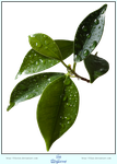 Leaves + Waterdrops - CUT OUT by LilyStox