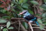 Blue-Breasted Kingfisher by trinity343