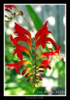 Crocosmia Lucifer by PixelBlender