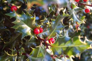 Winter Holly by JS92
