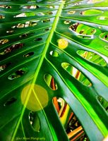 Swiss Cheese Plant by GlassHouse-1