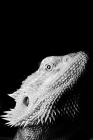Bearded Dragon by sketchybob